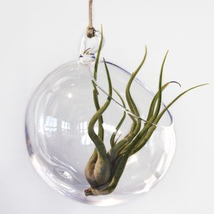 Airplant and glass ball